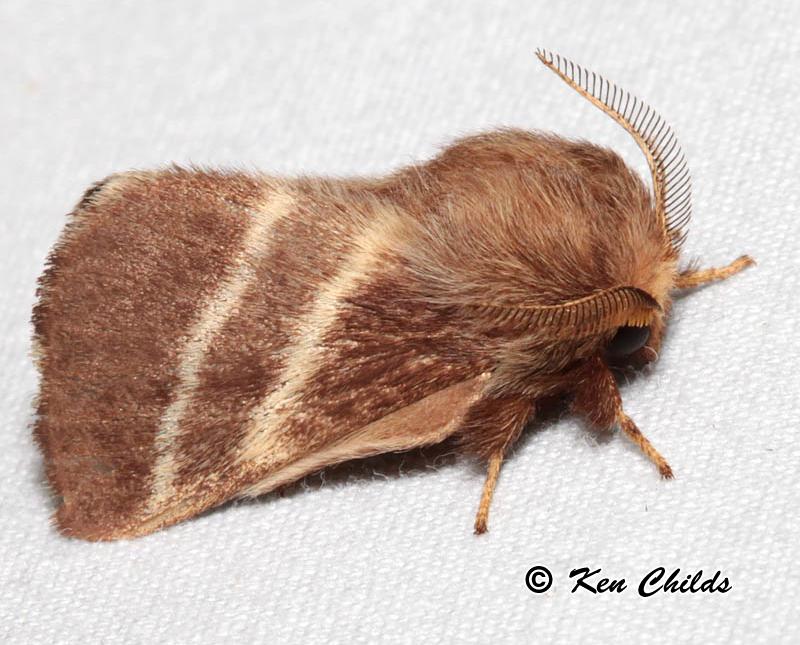 Family Lasioc&idae & Eastern Tent Caterpillar Moth Malacosoma americanum (Fabricius ...