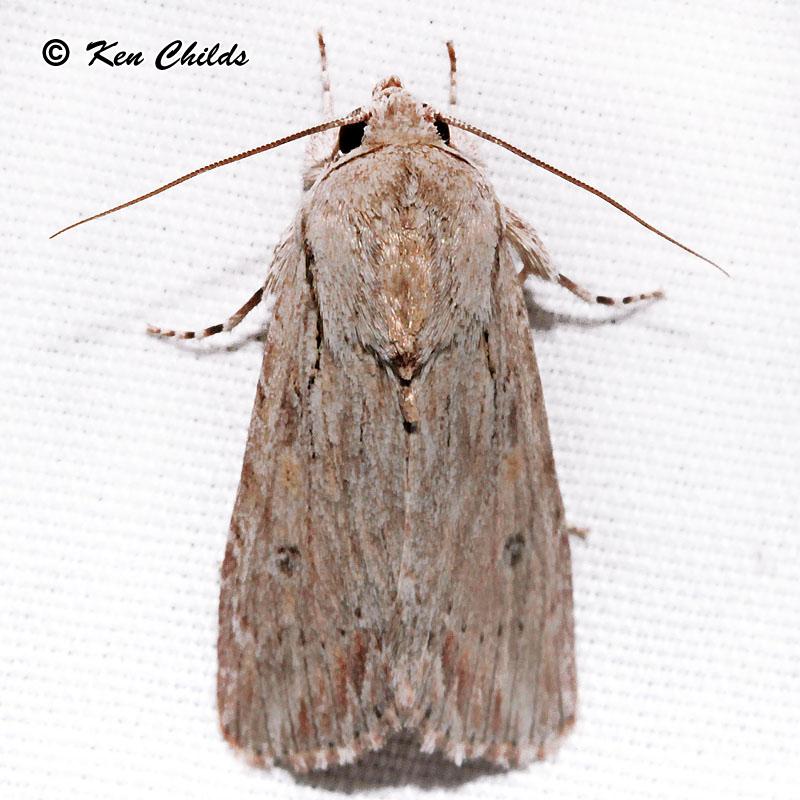 Gray Caterpillars That Are Big: Gray-streaked Armywom Moth Spodoptera Albula (Walker, 1857