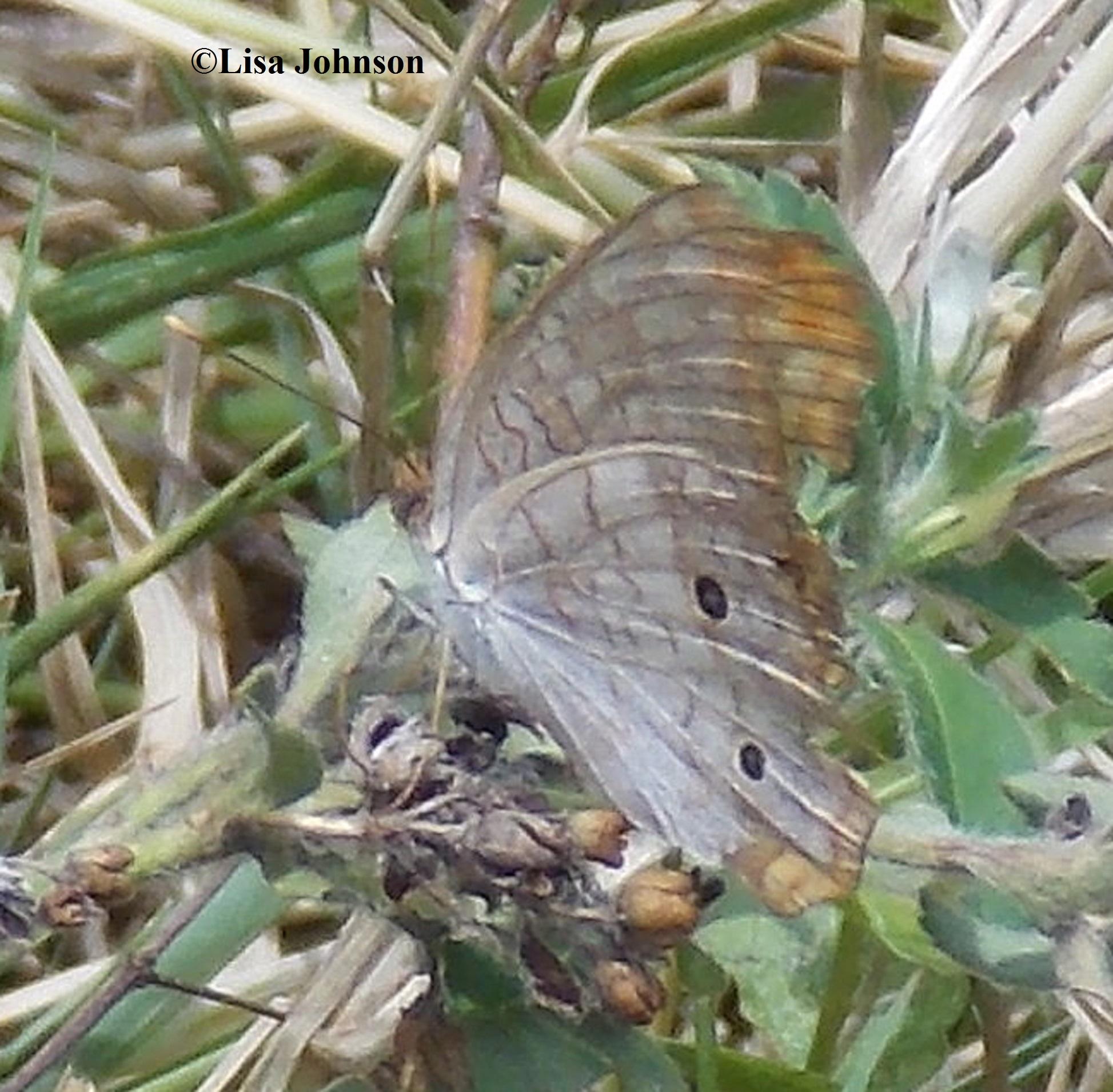 white peacock anartia jatrophae linnaeus 1763 butterflies and