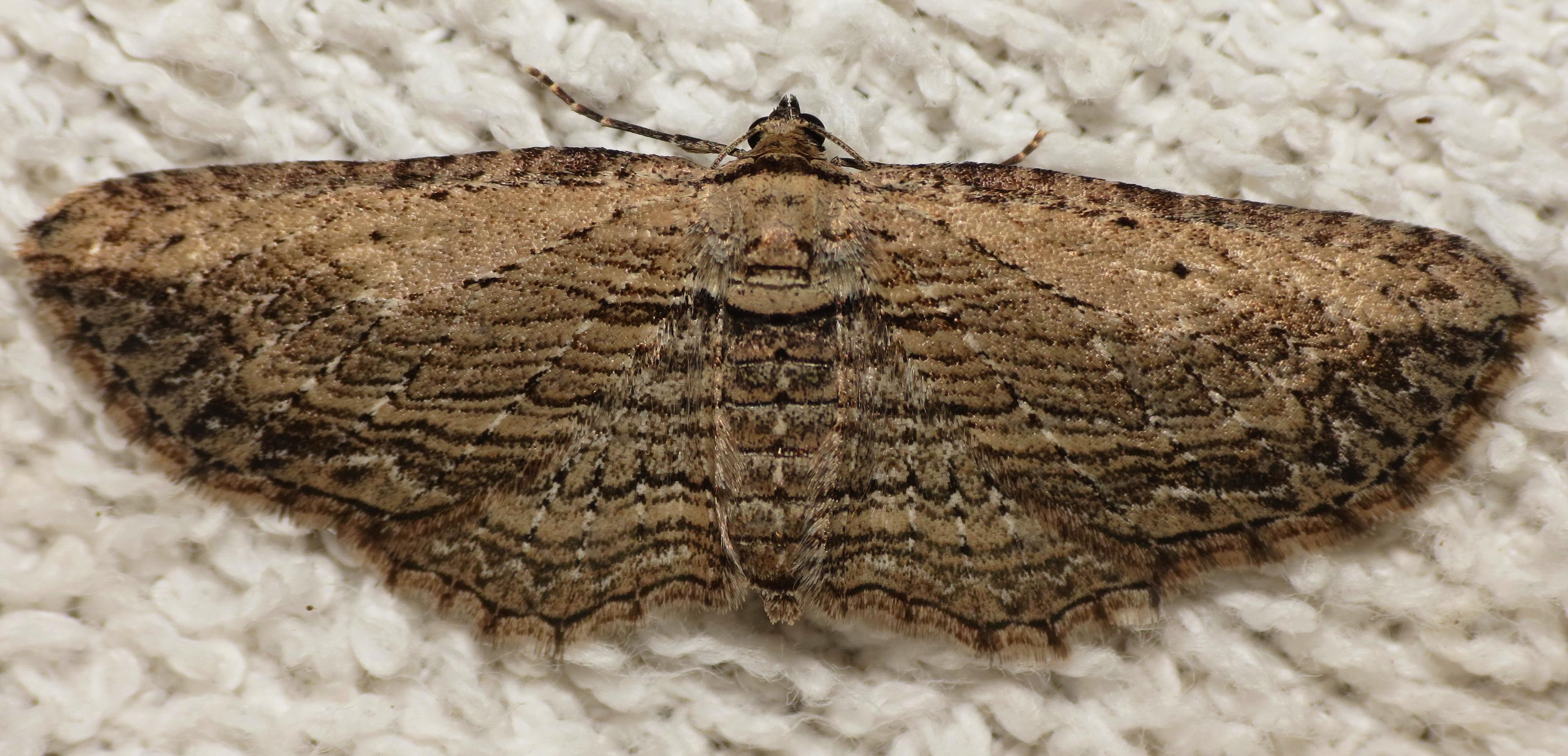 Brown Bark Carpet Horisme intestinata (Guenee, 1857) | Butterflies ...