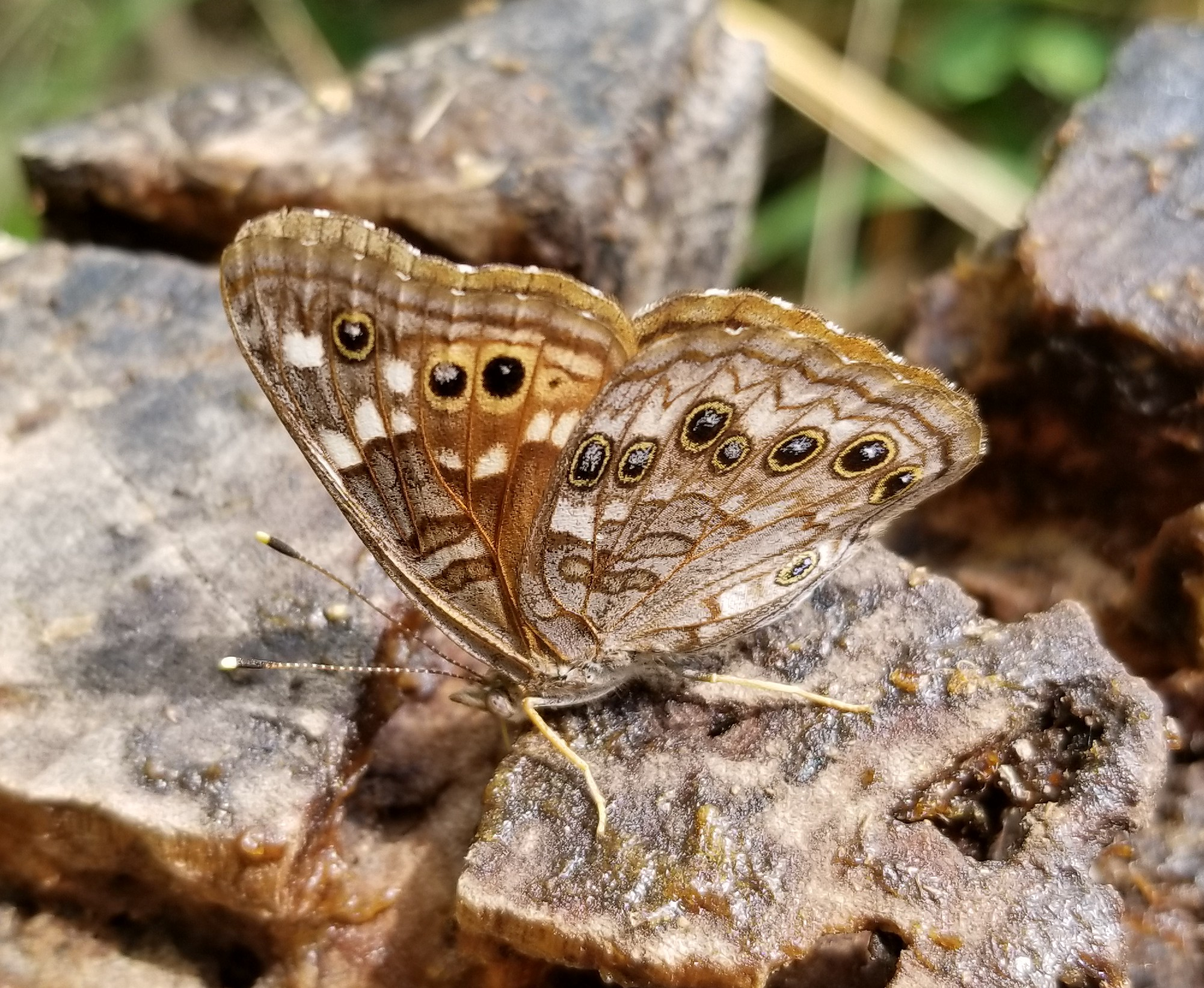 Empress Leilia Asterocampa leilia (W.H. Edwards, 1874) | Butterflies ...