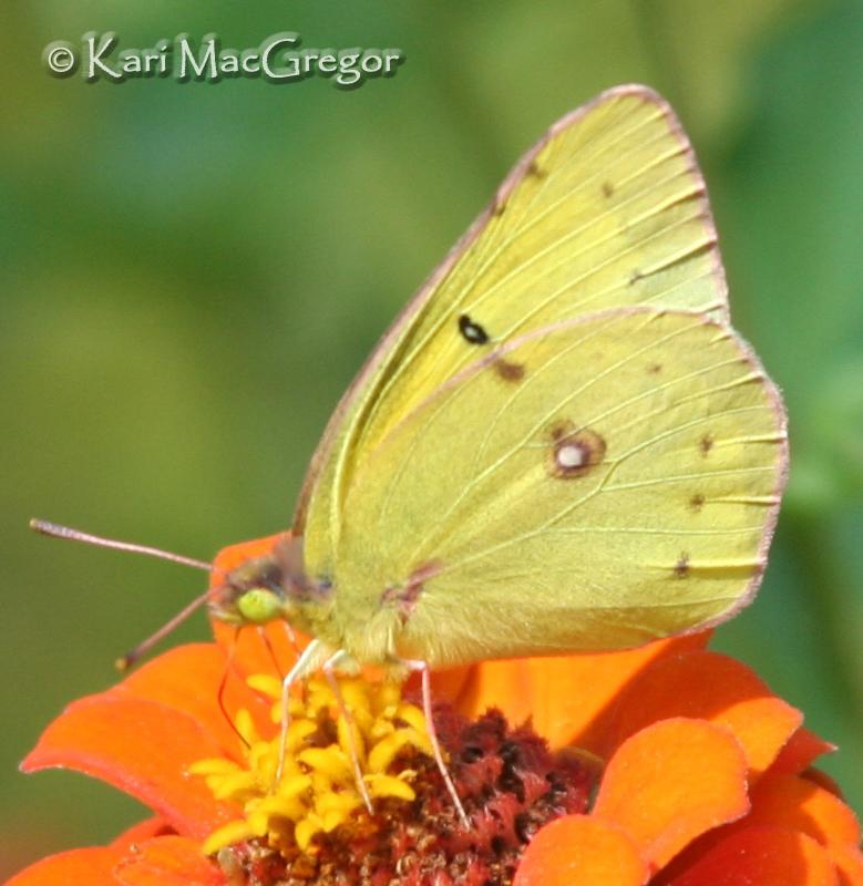 MyReporter.com What are the little yellow butterflies seen ... |Clouded Sulphur Butterfly
