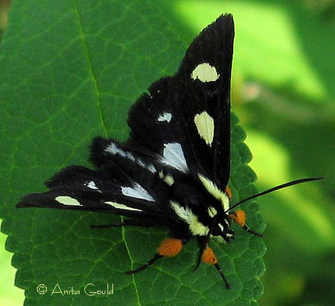 Eight Spotted Forester-Alypia octomaculata