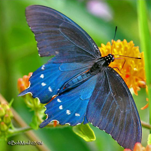 MOSI Outside: Pipevine Swallowtail |Pipevine Swallowtail Butterfly