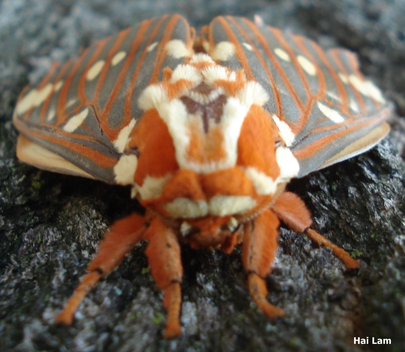 Gray Caterpillars That Are Big: Royal Walnut Moth Citheronia Regalis (Fabricius, 1793