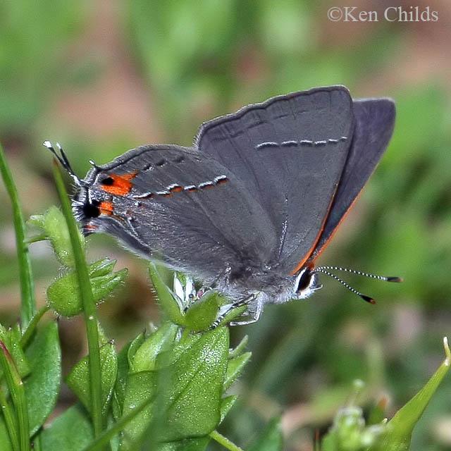 Gray Caterpillars That Are Big: Gray Hairstreak Strymon Melinus (Hübner, 1818