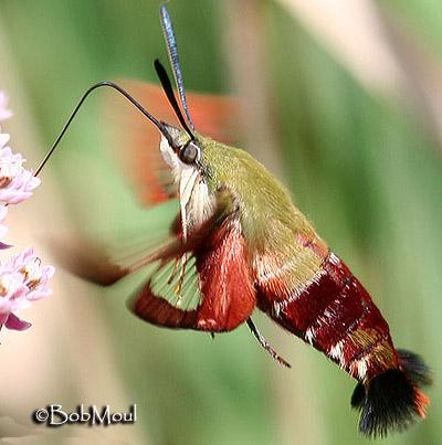 Hummingbird Clearwing Hemaris thysbe (Fabricius, 1775 ... - photo#26
