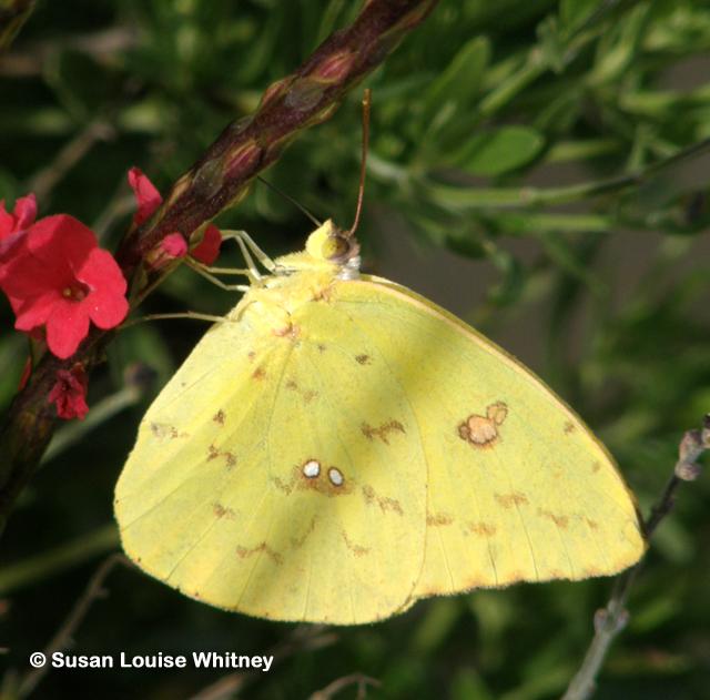 DALLAS BUTTERFLIES | DALLAS GARDEN BUZZ |Clouded Sulphur Butterfly