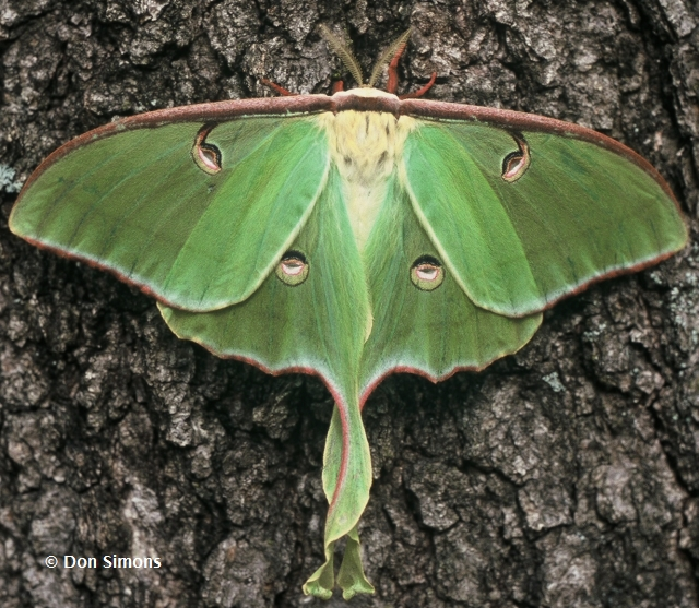 Image result for luna moth