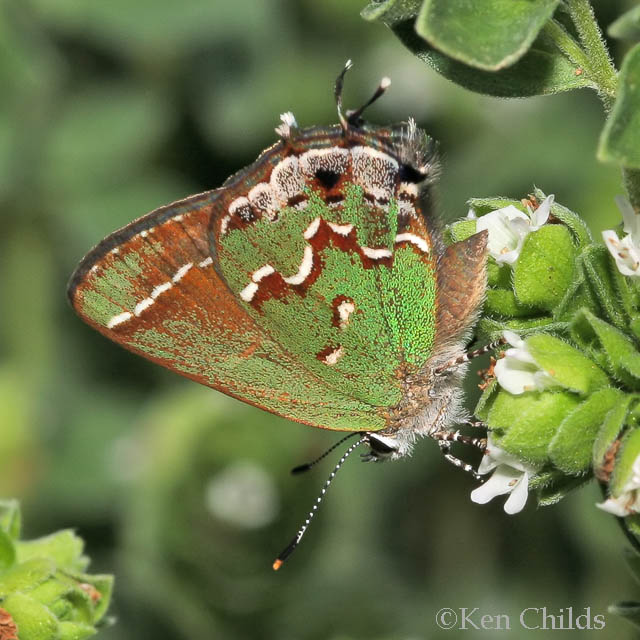 Olive\' Juniper Hairstreak Callophrys gryneus gryneus | Butterflies ...