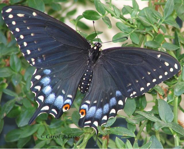 Black Swallowtail Papilio polyxenes Fabricius, 1775 ... Black Swallowtail Caterpillar