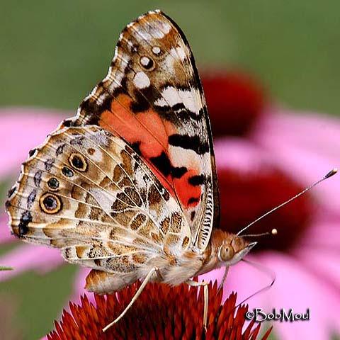 Painted Lady Vanessa cardui (Linnaeus, 1758)   Butterflies ...
