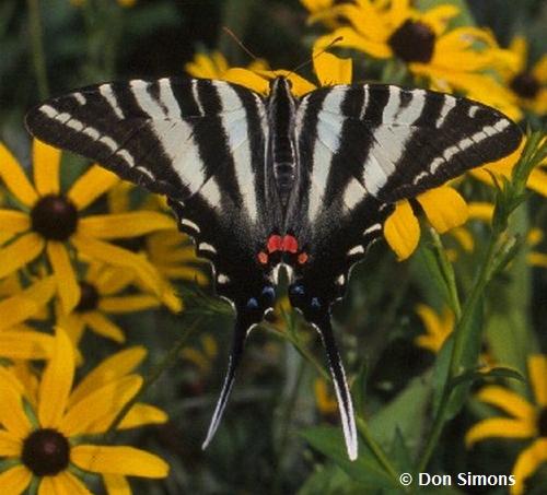 Sưu tập Bộ cánh vẩy 2 - Page 56 ZebraSwallowtail-Simons