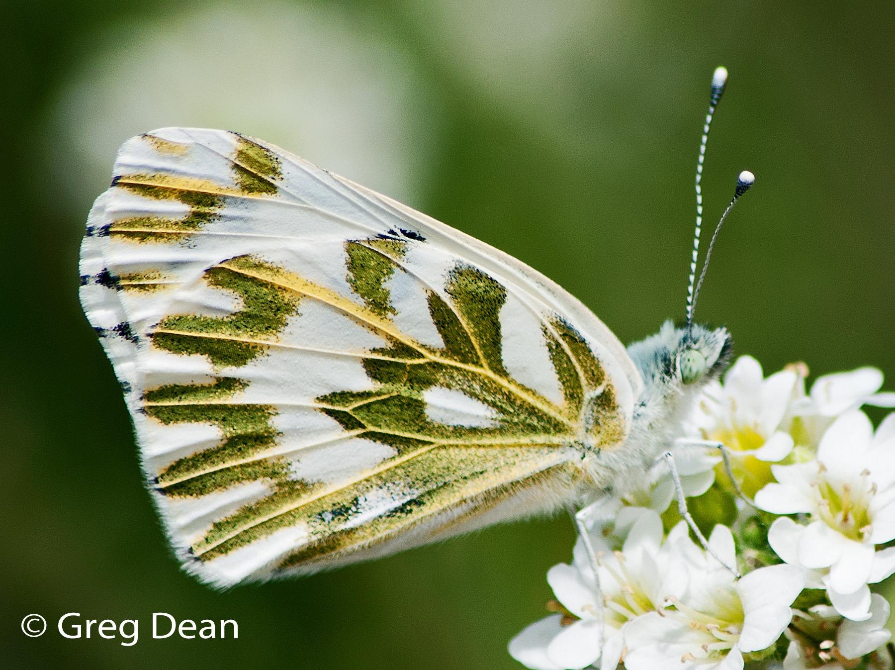 Sưu tập Bộ cánh vảy 3 - Page 5 _dsc9738_unidentified_butterfly_cropped_0