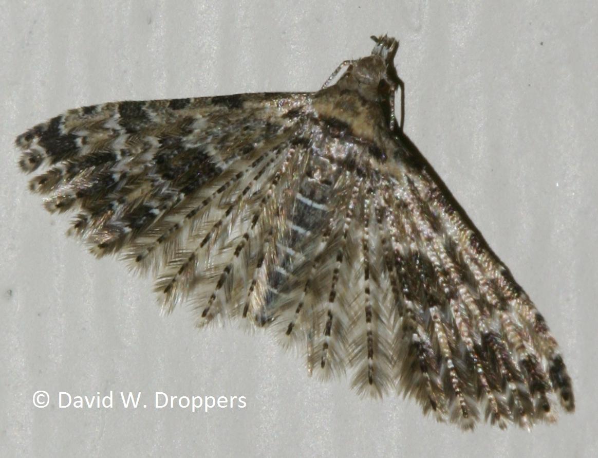 Montana sanders county dixon - Family Alucitidae