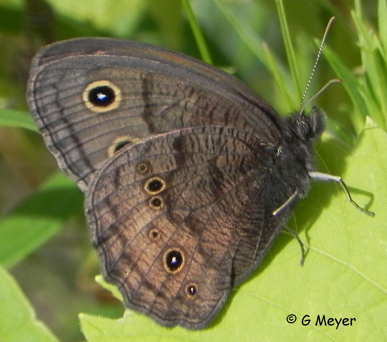 Common Wood-Nymph Cercyonis Pegala (Fabricius, 1775