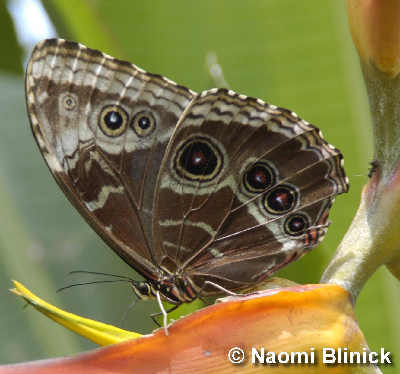 Bộ sưu tập cánh vẩy 6 - Page 6 Dominical-butterfly-2-naomi-blinick_0