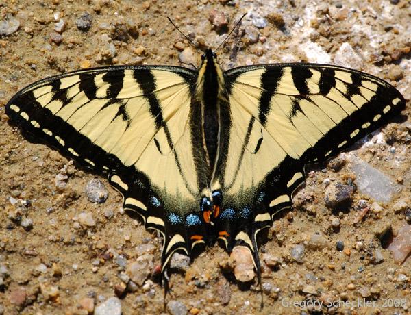 Family: Papilionidae