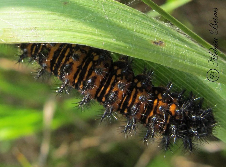 baltimore checkerspot euphydryas phaeton drury 1773