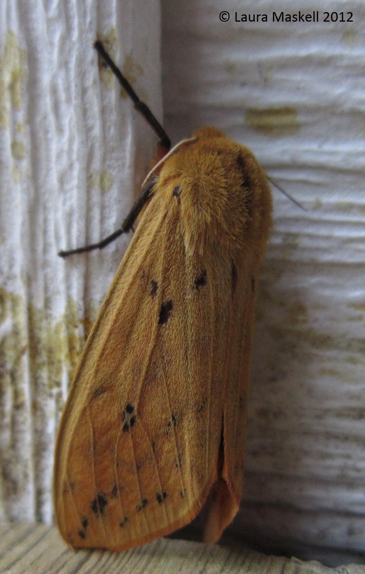 Isabella Tiger Moth or Banded Woolybear Pyrrharctia isabella (J.E. ...