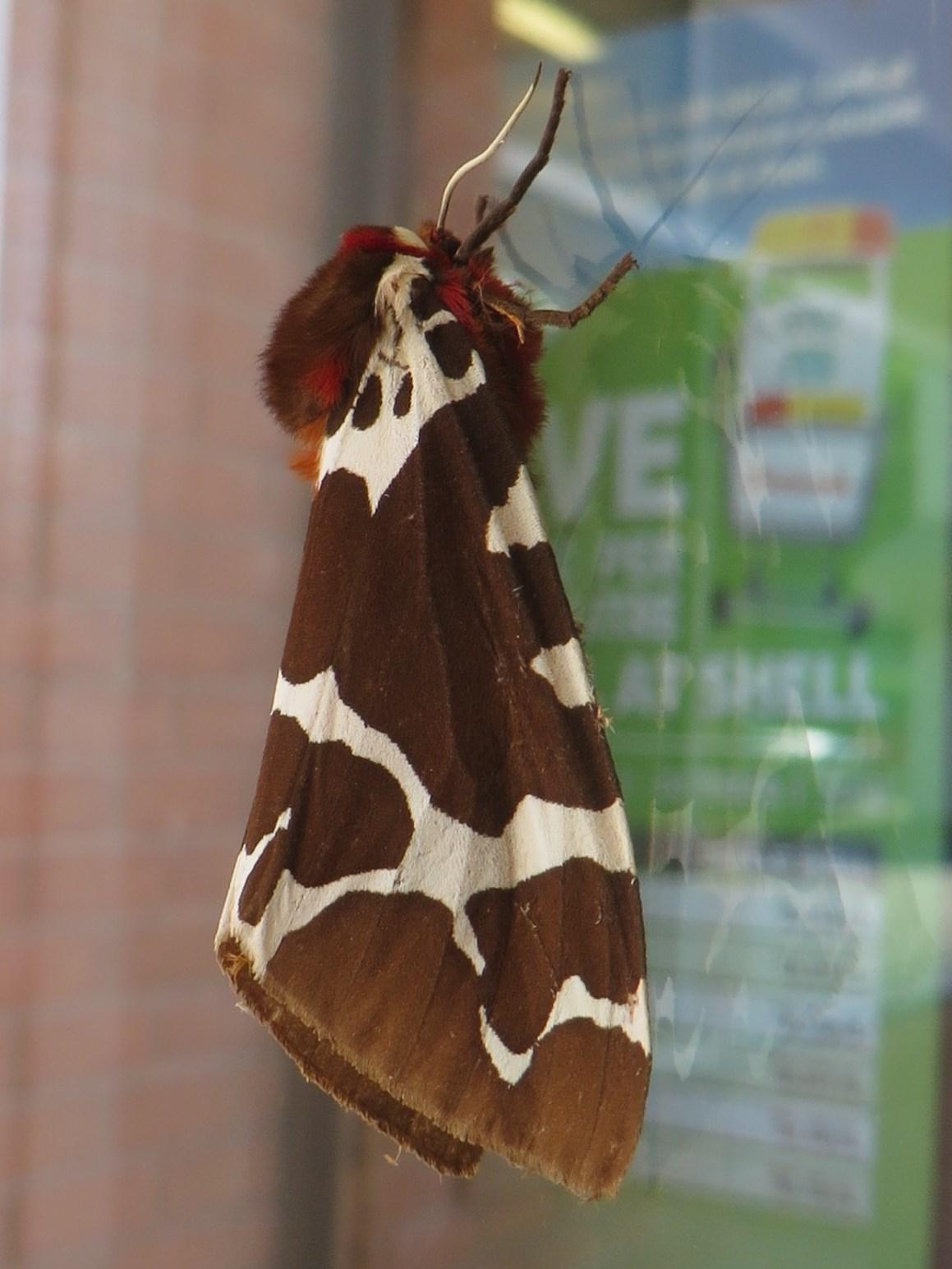 Garden Tiger Moth or Great Tiger Moth Arctia caja (Linnaeus, 1758 ...