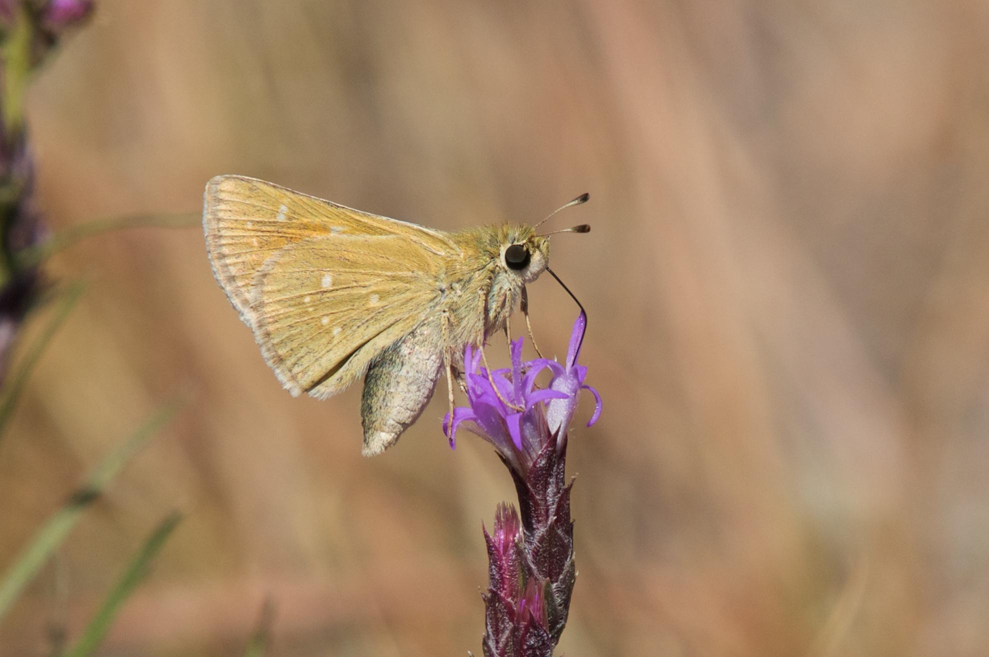 Leonard\'s Skipper Hesperia leonardus Harris, 1862 | Butterflies and ...