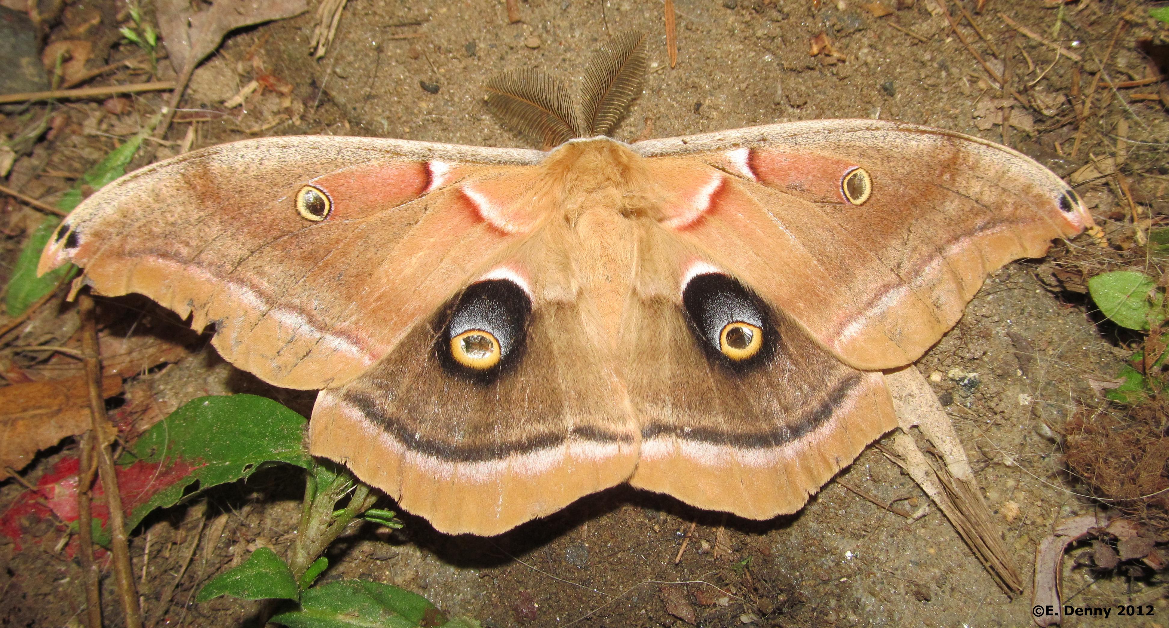 Polyphemus Moth Antheraea Polyphemus Cramer 1776 Butterflies
