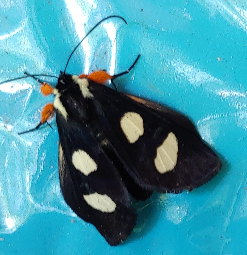 Bamona Moth