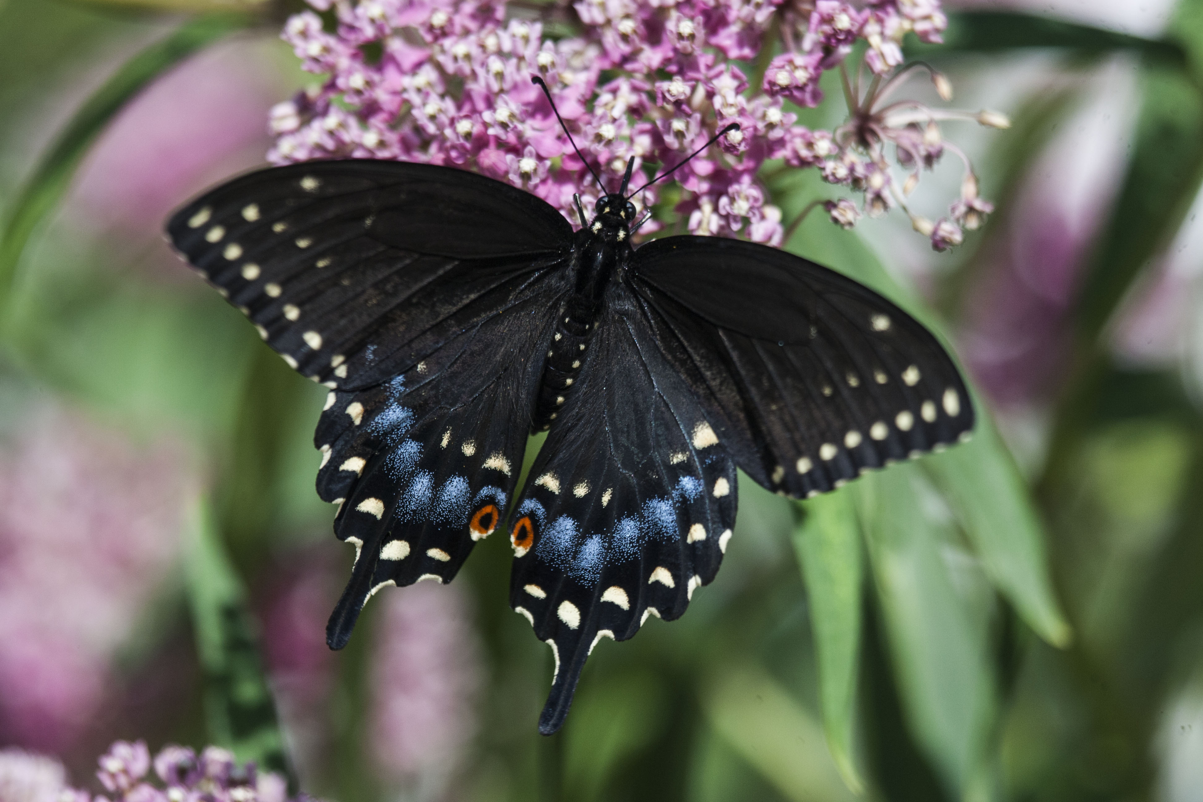 Ohio | Butterflies and Moths of North America - photo#15