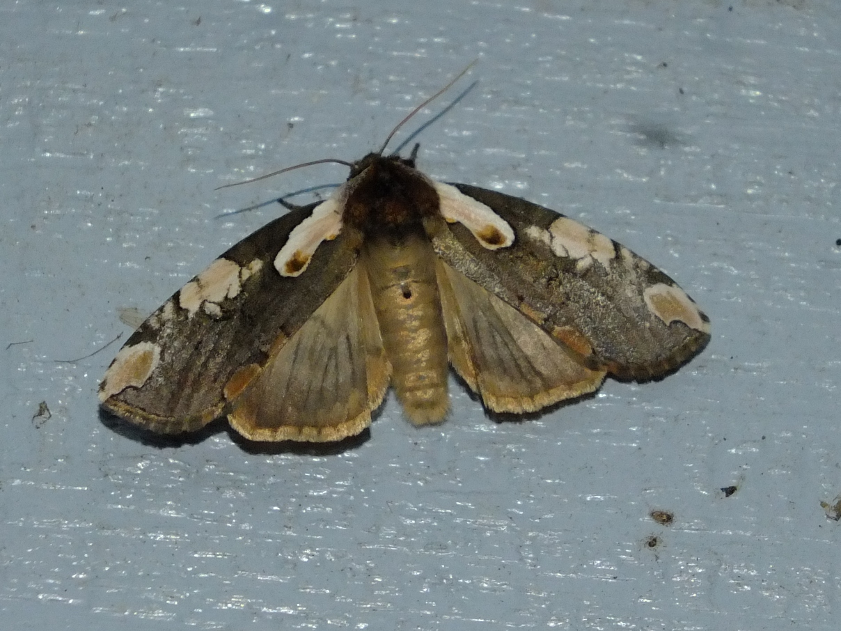 Georgia   Butterflies and Moths of North America