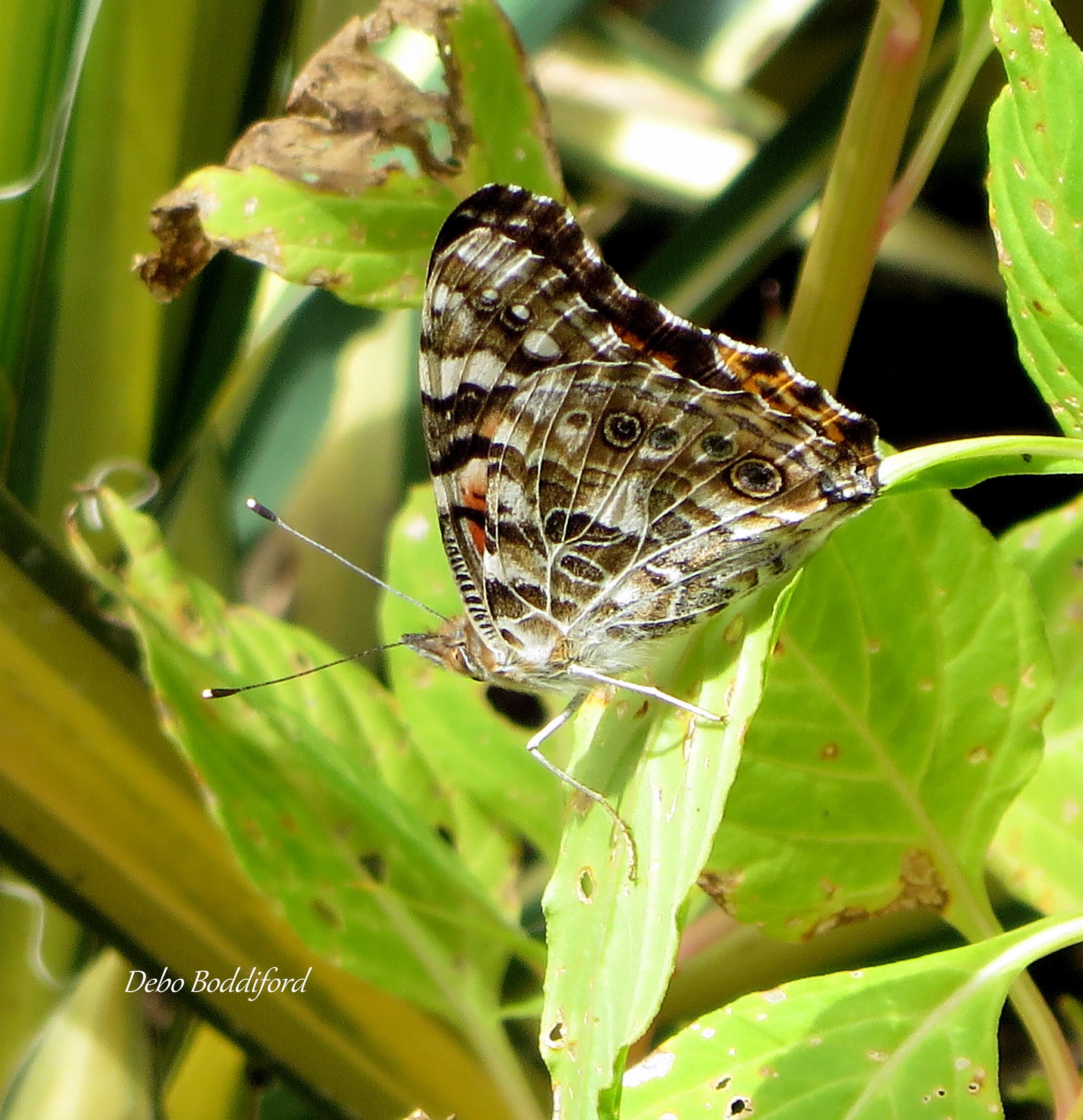 Butterflies of North Carolina, South Carolina & Georgia: A ...