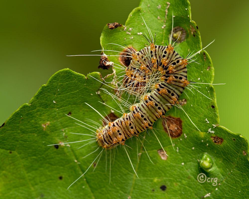 Retarded Dagger Moth Caterpillar