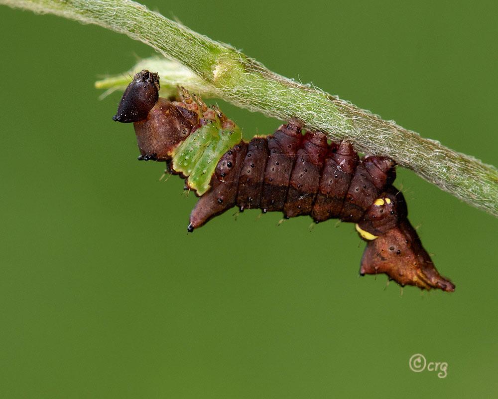 Unicorn Caterpillar Moth