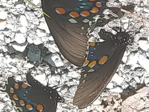 4d4135bbb58 Pipevine Swallowtail Battus philenor (Linnaeus, 1771) | Butterflies ...