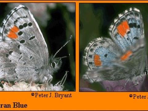 cf06f2e7741 Sonoran Blue Philotes sonorensis (C. Felder & R. Felder, 1865) | Butterflies  and Moths of North America