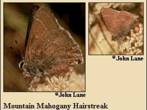 Mountain Mahogany Hairstreak Satyrium Tetra Wh Edwards 1870