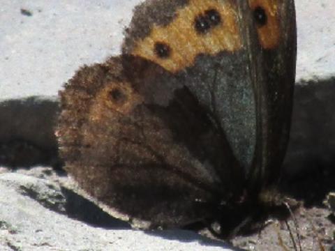 Image result for vidler's alpine butterfly