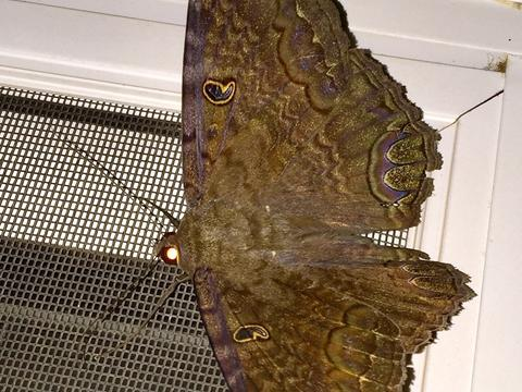 cc5a224a01c5 Black Witch Ascalapha odorata (Linnaeus