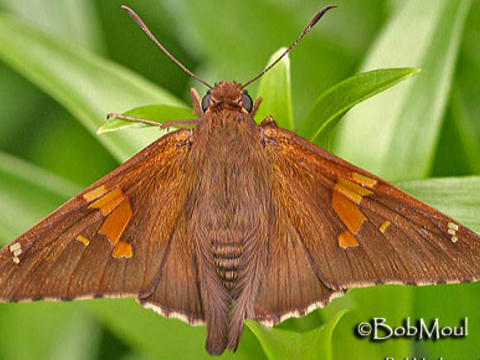 Image Gallery Butterflies And Moths Of North America