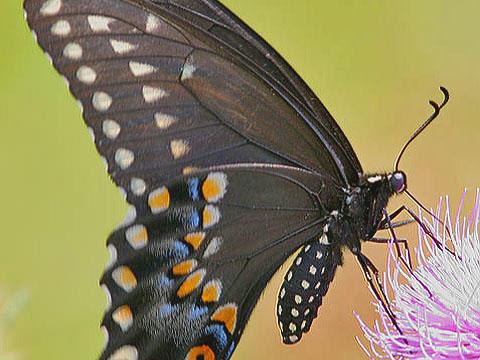 Black Swallow Butterfly 120