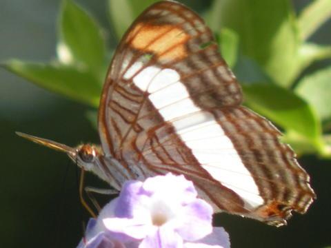 Bộ sưu tập cánh vẩy 5 - Page 16 Adelpha-basiloides-carolsbutterflygarden-missiontx04