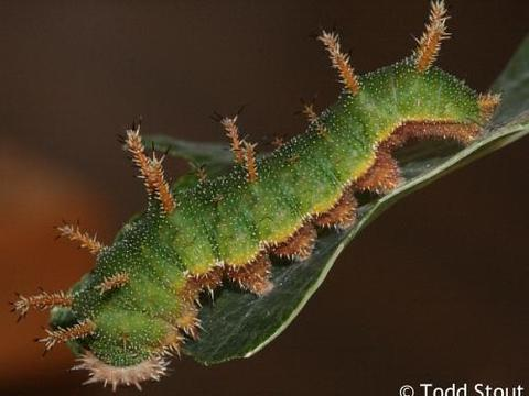 Bộ sưu tập cánh vẩy 5 - Page 17 Adelphia_eulalia_caterpillar5_raisingbutterflies