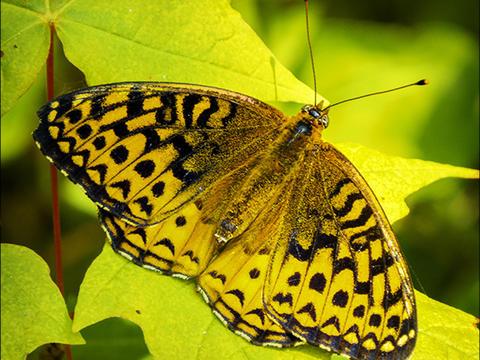 Bộ sưu tập cánh vẩy 5 - Page 2 Adirondack-butterflies-fritillary-square-10-july-2015-1