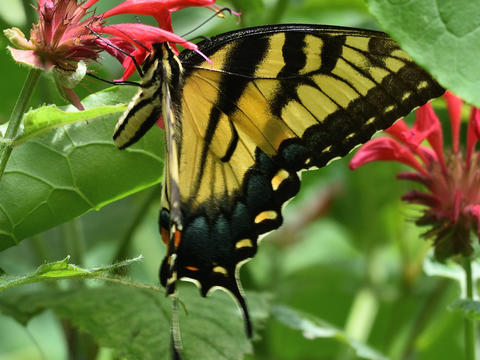 2d0be7576 Eastern Tiger Swallowtail Papilio glaucus Linnaeus, 1758 ...