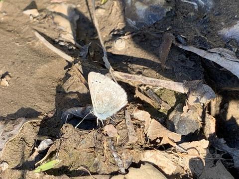 ad18414c42a Silvery Blue Glaucopsyche lygdamus (Doubleday, 1841) | Butterflies ...