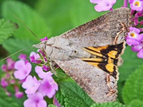 Hypocala andremona (Cramer, 1784) | Butterflies and Moths of