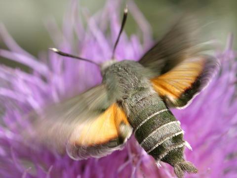 Sưu tập Bộ cánh vẩy  - Page 45 Juanita_sphinx_moth_proserpinus_juanita___24_jun_05___img_2396