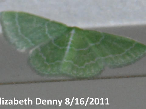 Wavy-Lined Emerald Synchlora aerata Fabricius, 1798 | Butterflies ...