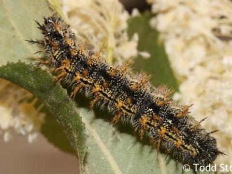 Bộ sưu tập cánh vẩy 6 - Page 9 Nymphalis_californica_caterpillar5_raisingbutterflies
