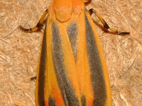 Painted Lichen Moth Hypoprepia fucosa Hübner, [1831